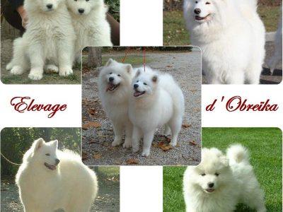 Chiot Samoyede : 1  mâle – femelles 5 243636
