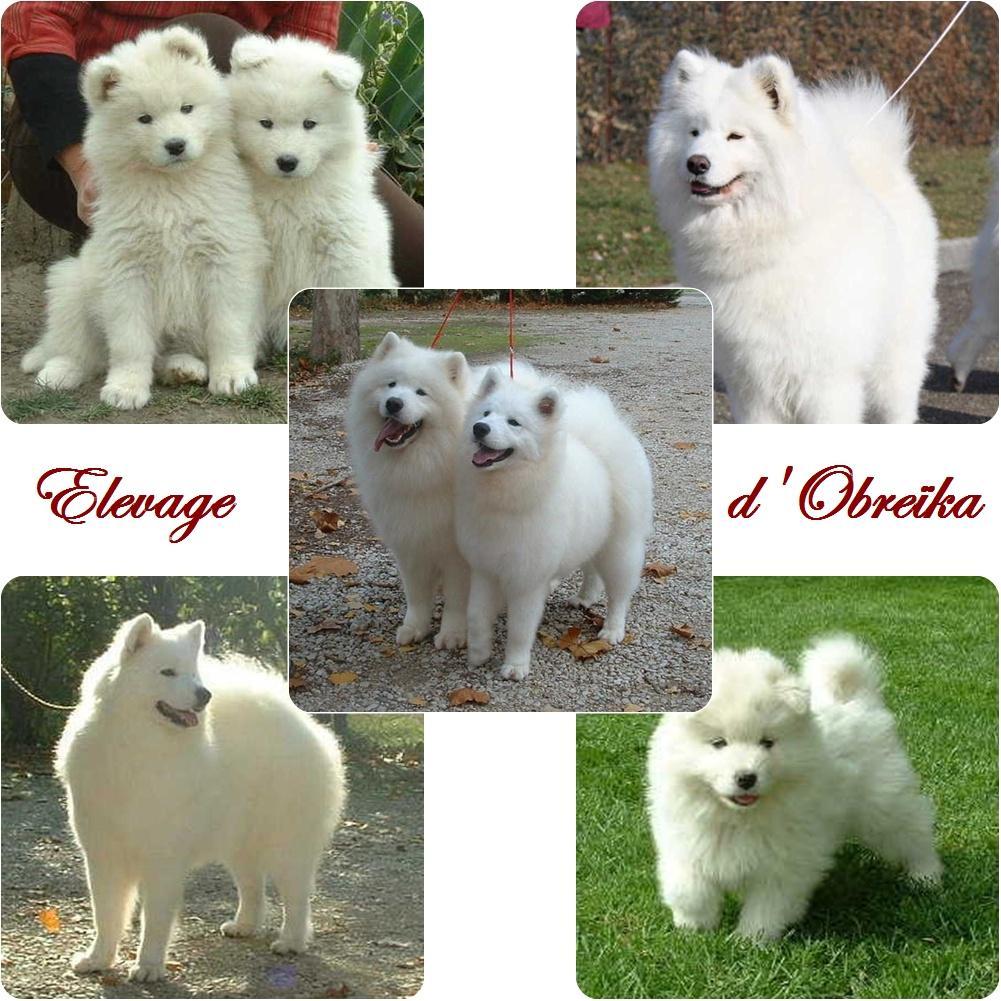 Chiot Samoyede : 1  mâle - femelles 5 243636