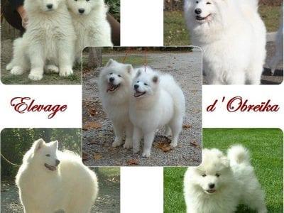 Chiot Samoyede : 1  mâle – femelles 6 239564
