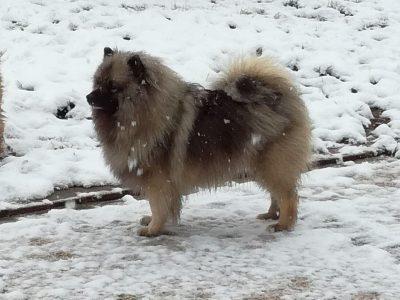 Chiot Spitz loup : 1  mâle – femelles 7 248945