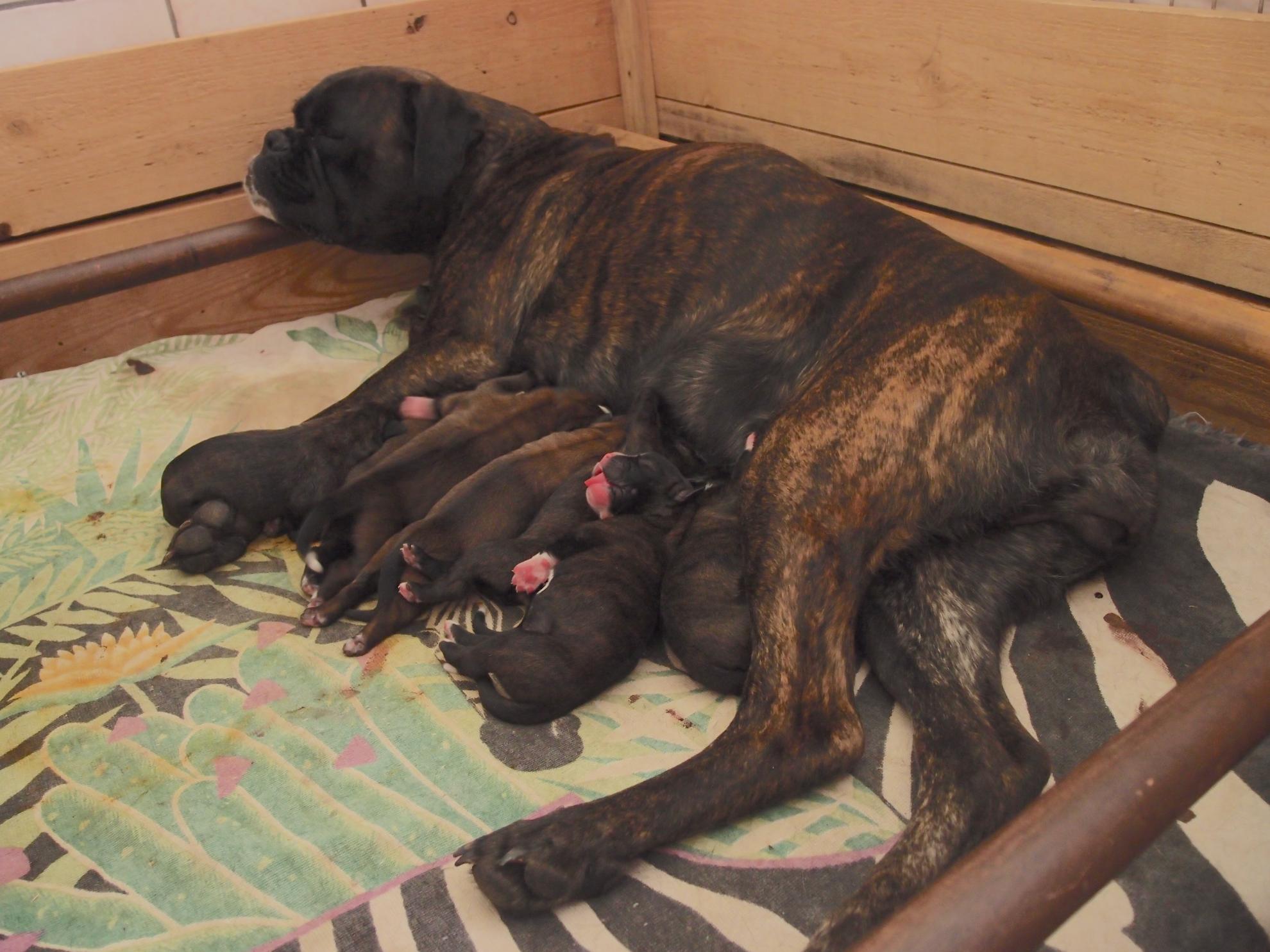 Chiot Boxer : 4  mâles - femelles 3 245256