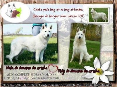 Chiot Berger blanc Suisse : 4  mâles – femelles 4 237840