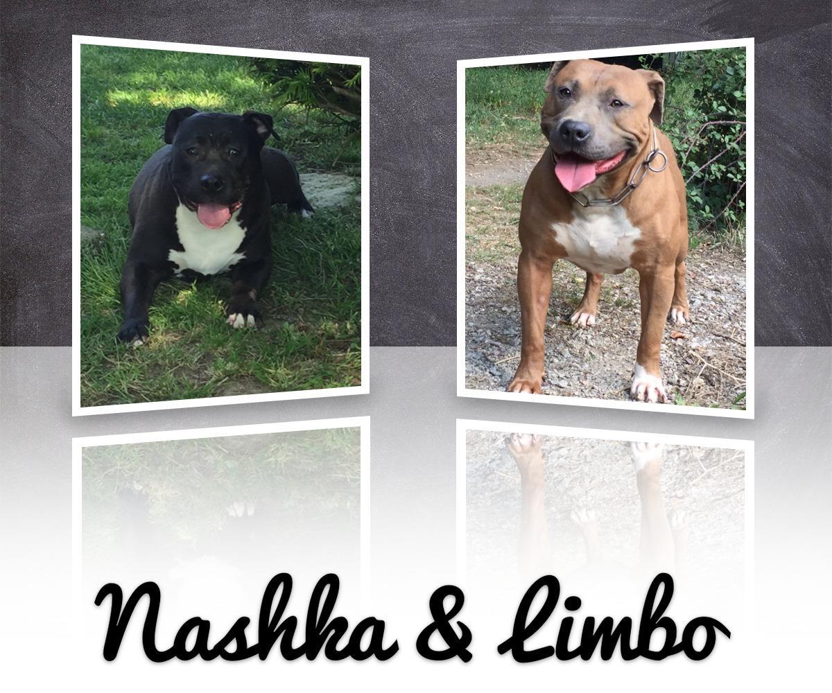 Chiot Staffordshire bull terrier : 3  mâles - femelles 5 239621