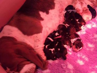 Chiot Basset hound : 3  mâles – femelle 0 239251