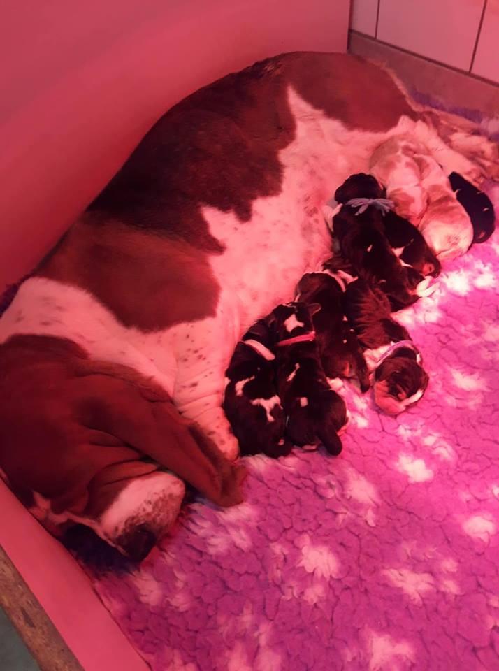 Chiot Basset hound : 3  mâles - femelle 0 239251