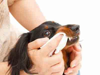 Nettoyer les dents du chiot