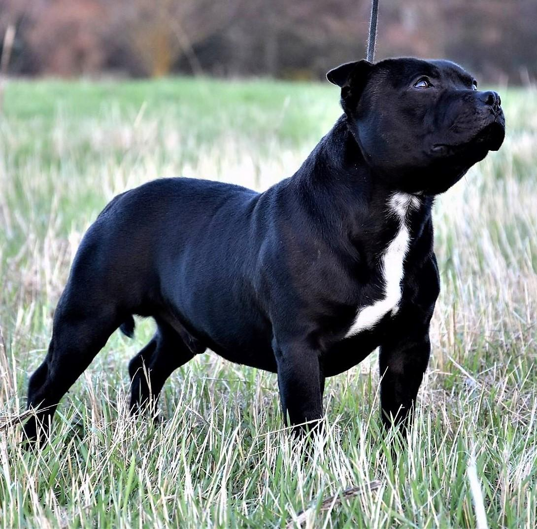 Chiot Staffordshire bull terrier : 1  mâle - femelle 1 242247