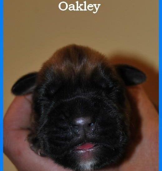 Mâle fauve Oakley