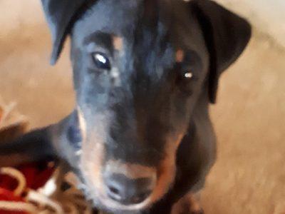 Chiot Jagd terrier : 3  mâles – femelle 0 243202