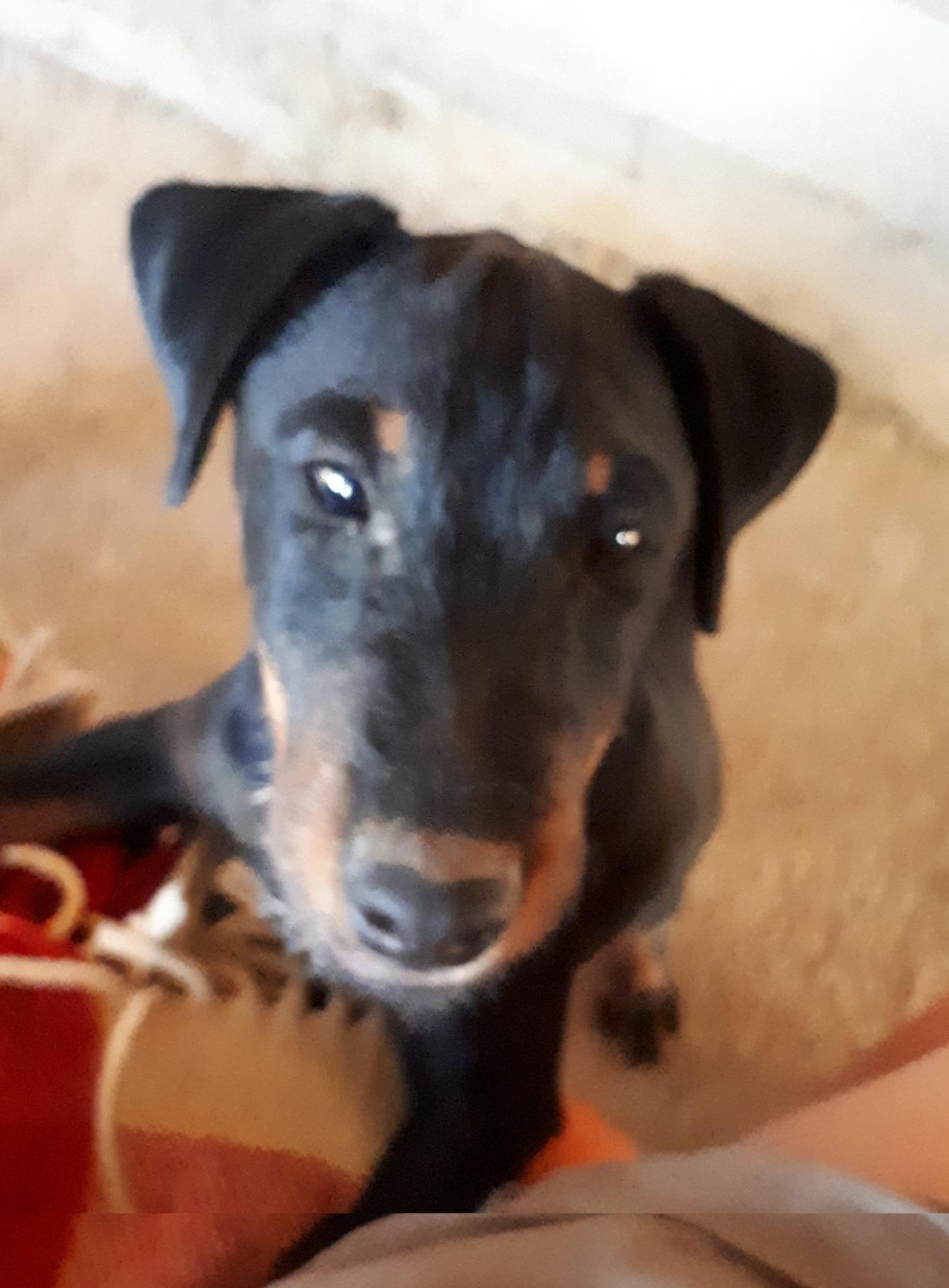 Chiot Jagd terrier : 3  mâles - femelle 0 243202