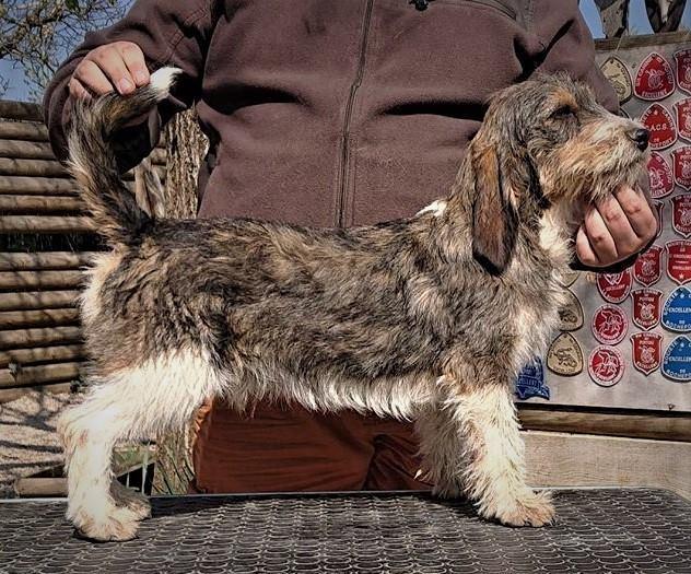 Chiot Petit basset griffon Vendeen : 1  mâle - femelle 0 246018