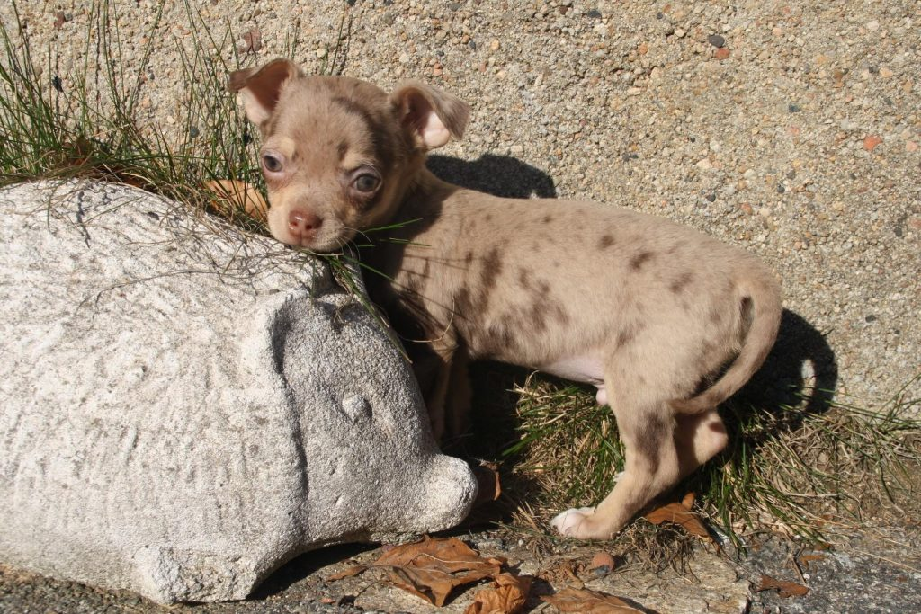 Chiot Chihuahua : 1  mâle – femelle 0 241280