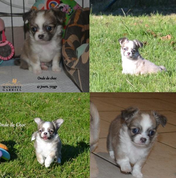 Chiot Chihuahua : 1  mâle - femelle 0 240991
