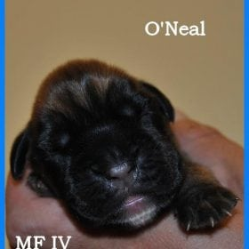 Mâle fauve O'Neal