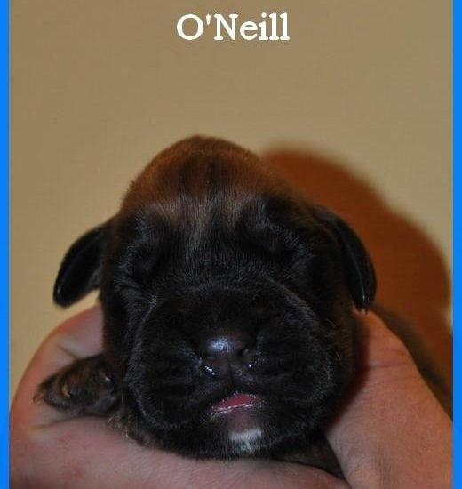 Mâle fauve O'Neill