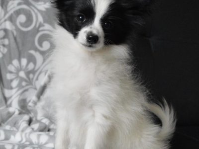 Chiot Epagneul nain continental papillon : 0  mâle – femelle 1 238277