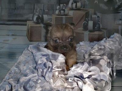 Chiot Chihuahua : 2  mâles – femelle 0 238224