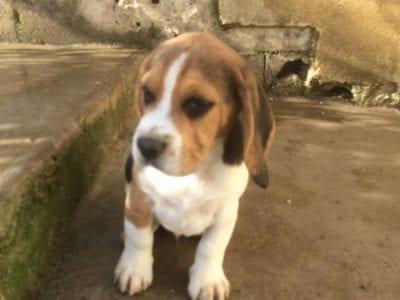 Chiot Beagle : 6  mâles – femelles 3 240171