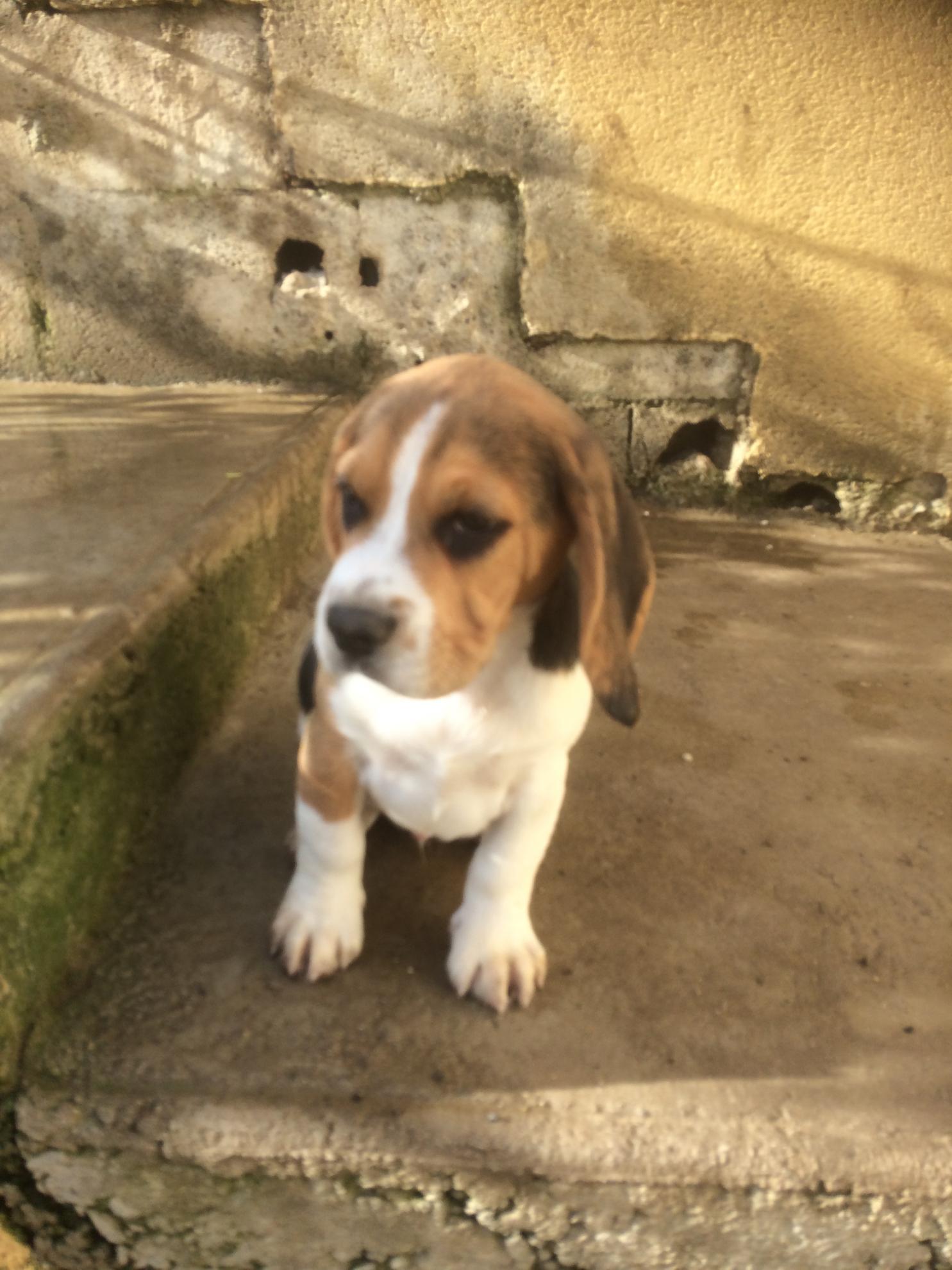 Chiot Beagle : 6  mâles - femelles 3 240171