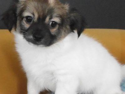 Chiot Chihuahua : 1  mâle – femelle 0 246220