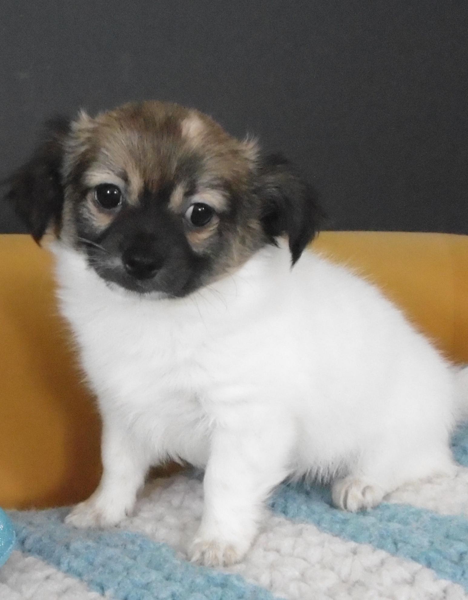 Chiot Chihuahua : 1  mâle - femelle 0 246220
