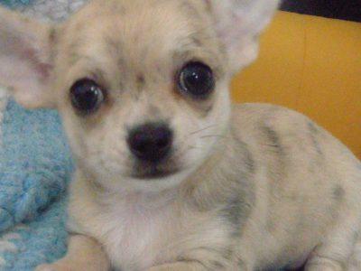 Chiot Chihuahua : 1  mâle – femelle 1 247546