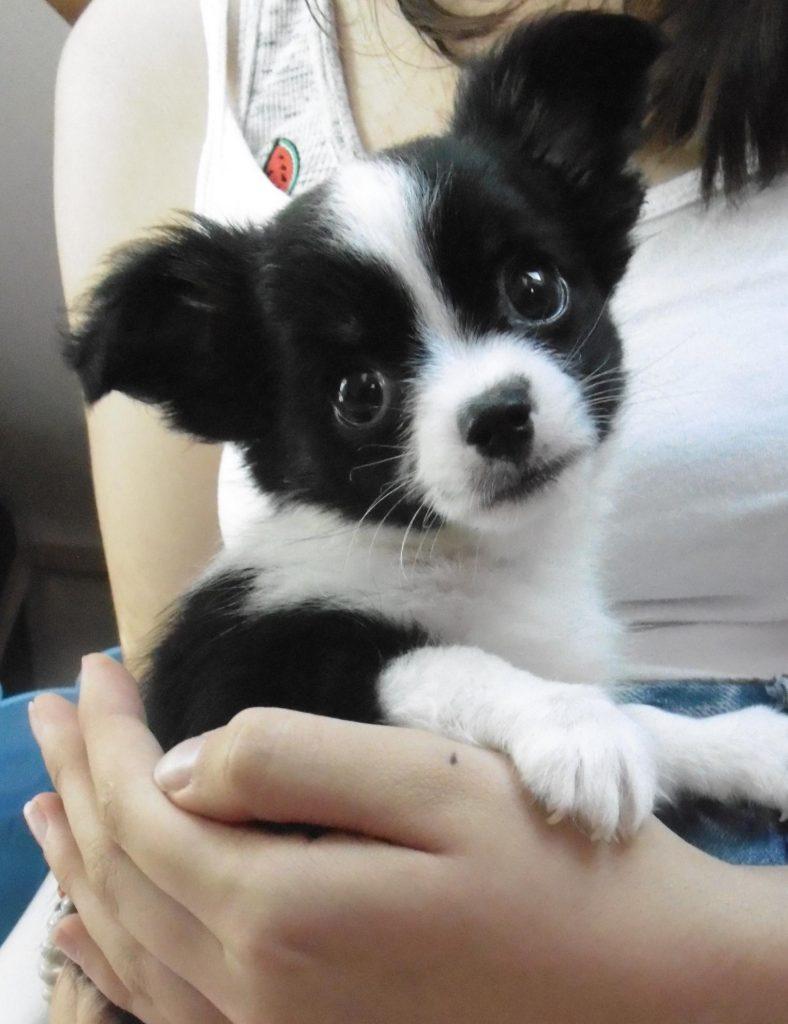 Chiot Chihuahua : 1  mâle – femelle 0 248165