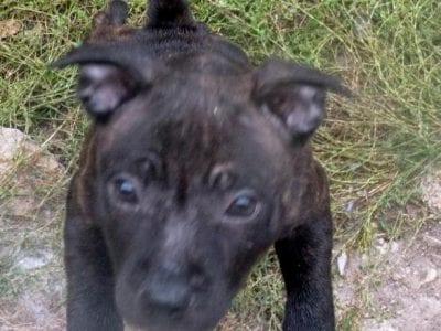 Chiot Staffordshire bull terrier : 1  mâle – femelle 0 237103