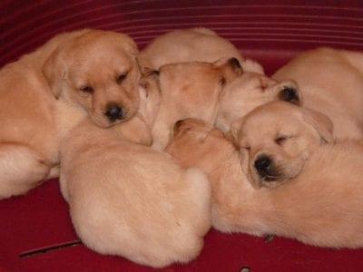 Chiot Labrador retriever : 3  mâles – femelle 1 241848