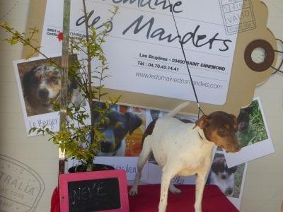 Chiot Terrier Brésilien : 6  mâles – femelles 2 240946