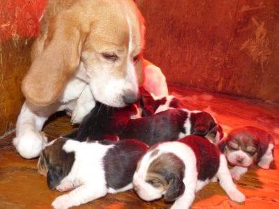 Chiot Beagle : 3  mâles – femelles 4 241305