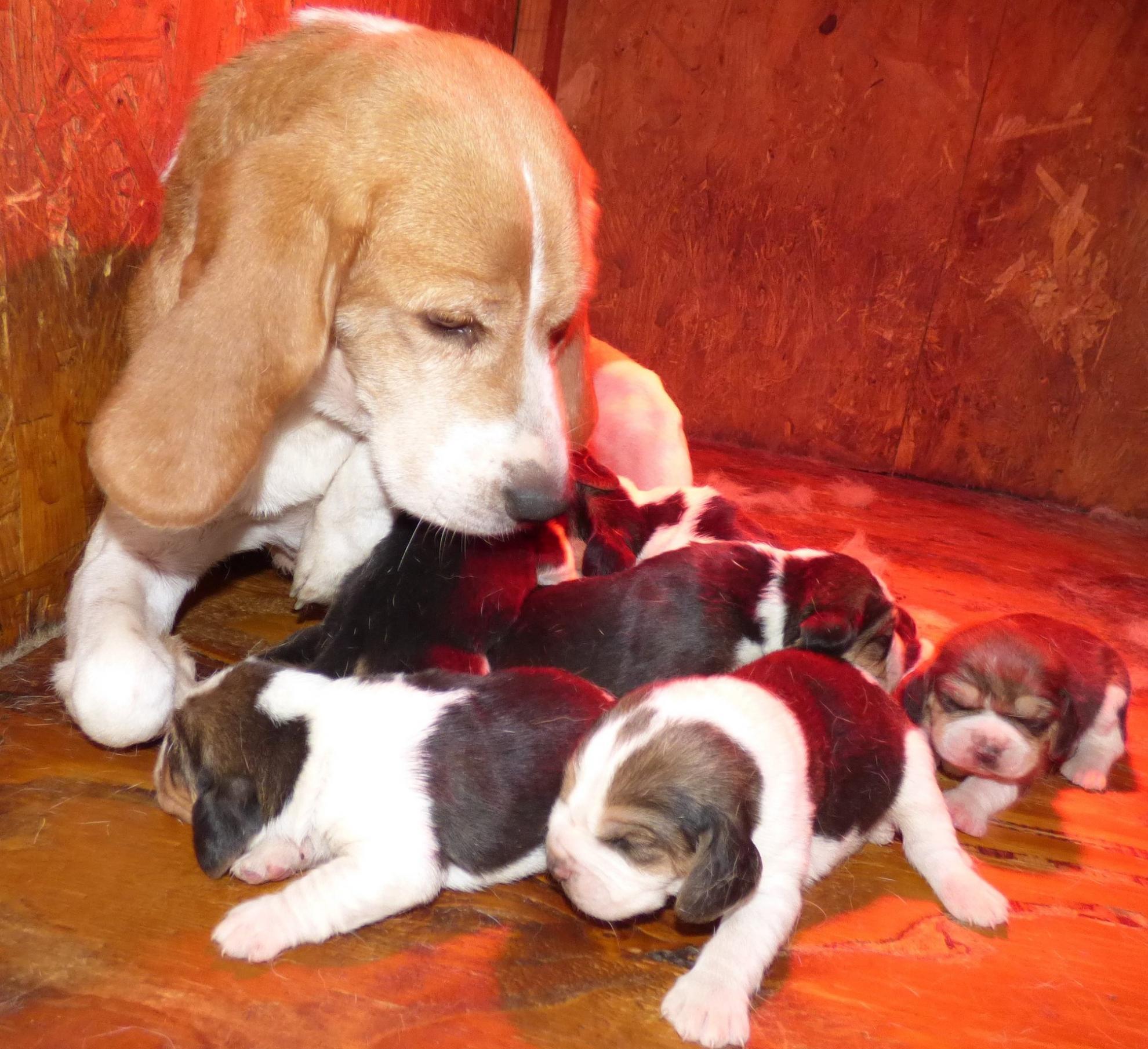 Chiot Beagle : 3  mâles - femelles 4 241305