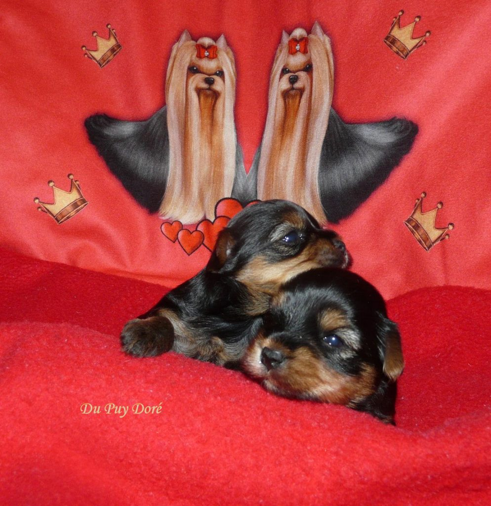 Chiot Yorkshire terrier : 0  mâle – femelle 1 241278