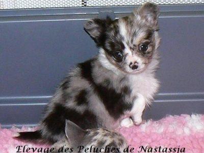 Chiot Chihuahua : 2  mâles – femelle 1 246825