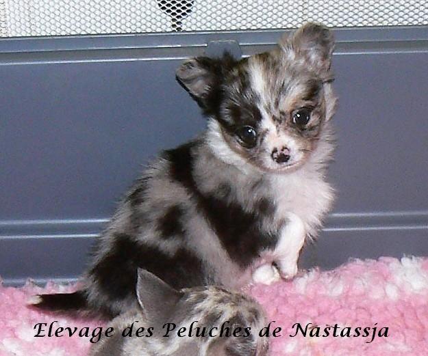 Chiot Chihuahua : 2  mâles - femelle 1 246825