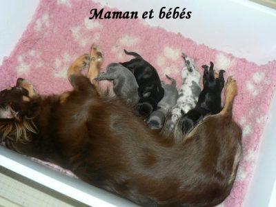 Chiot Chihuahua : 2  mâles – femelles 3 248547