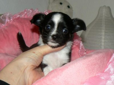 Chiot Chihuahua : 1  mâle – femelles 2 250944