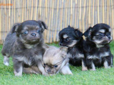 Chiot Chihuahua : 3  mâles – femelle 1 247556