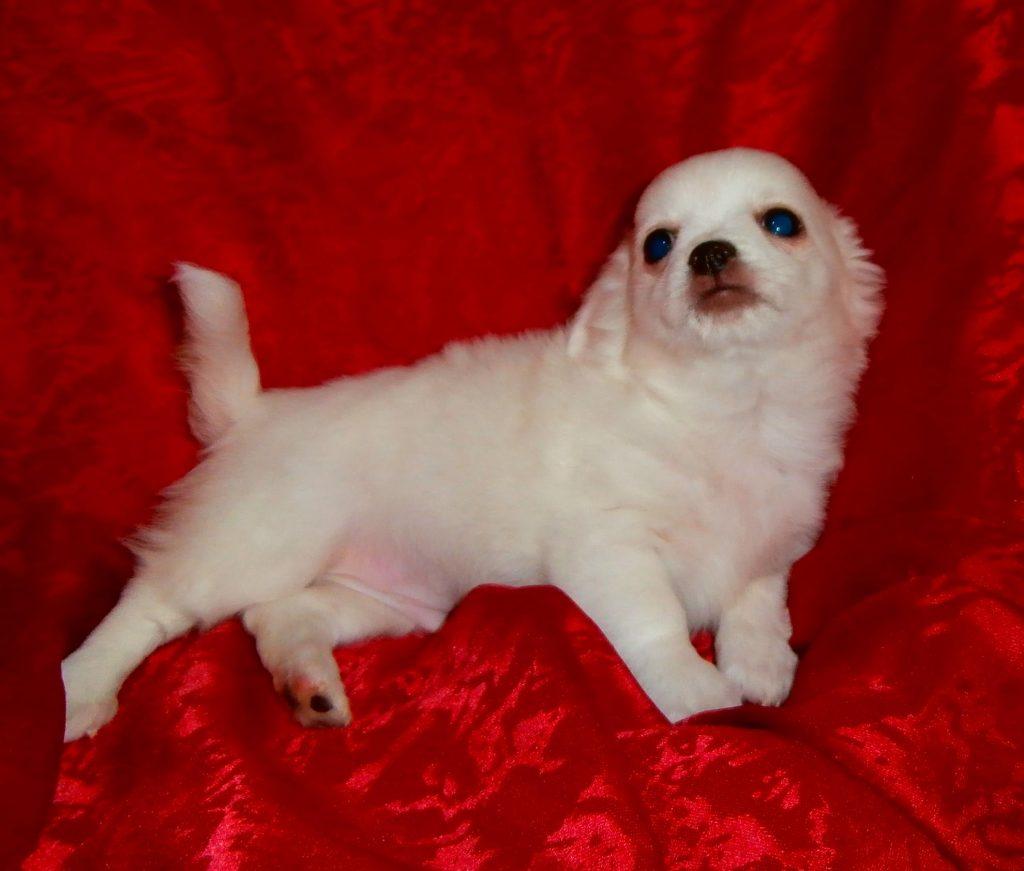 Chiot Chihuahua : 3  mâles – femelles 2 244860