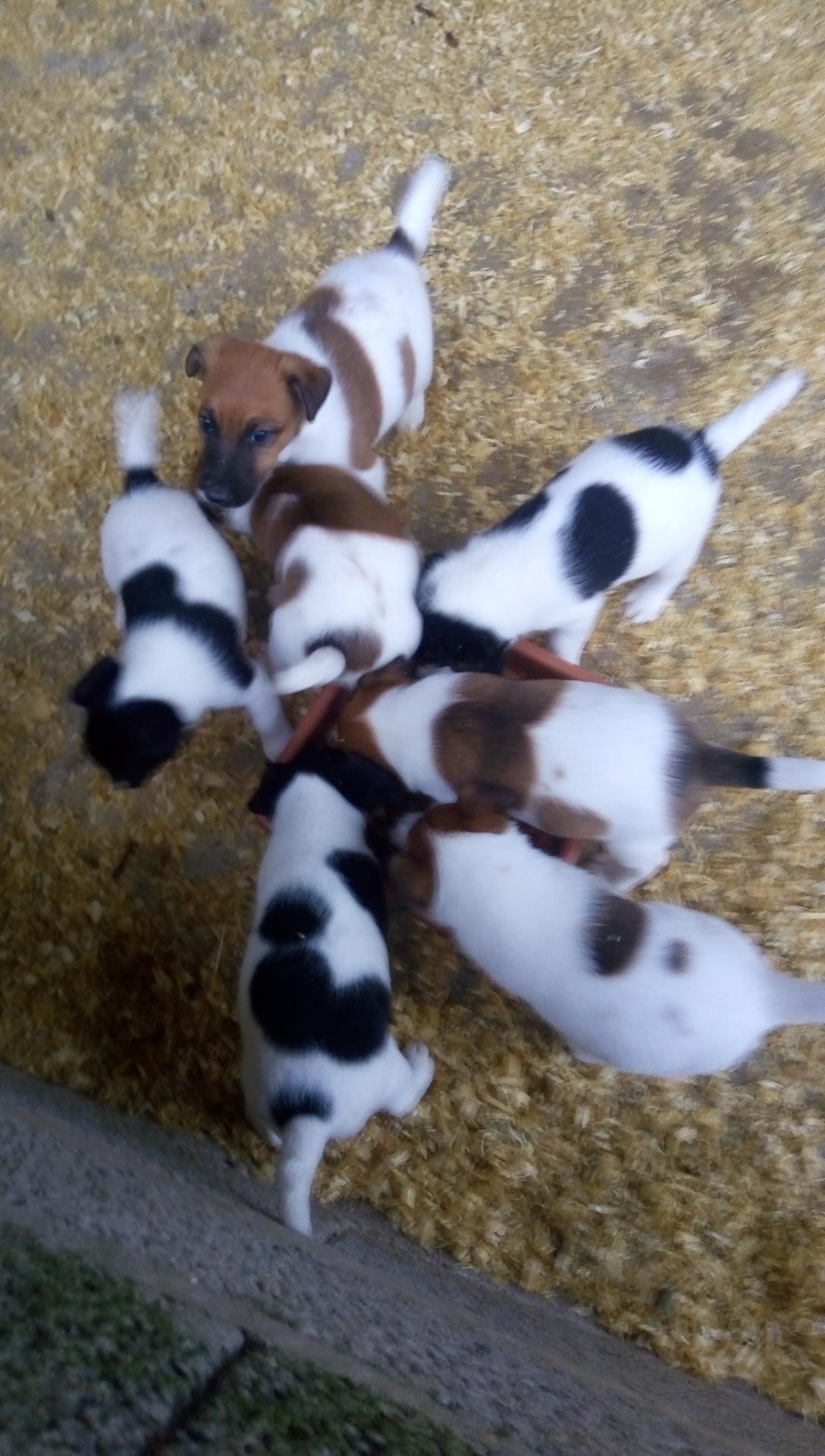 Chiot Fox terrier poil lisse : 3  mâles - femelles 4 249875