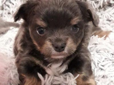 Chiot Chihuahua : 1  mâle – femelle 1 251064