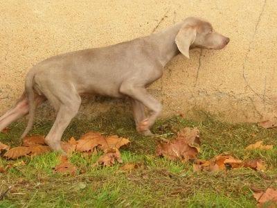 Chiot Braque de Weimar à poil ras : 1  mâle – femelle 0 236612