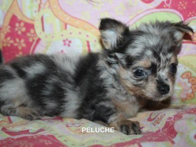 Chiot Chihuahua : 2  mâles – femelle 1 246743