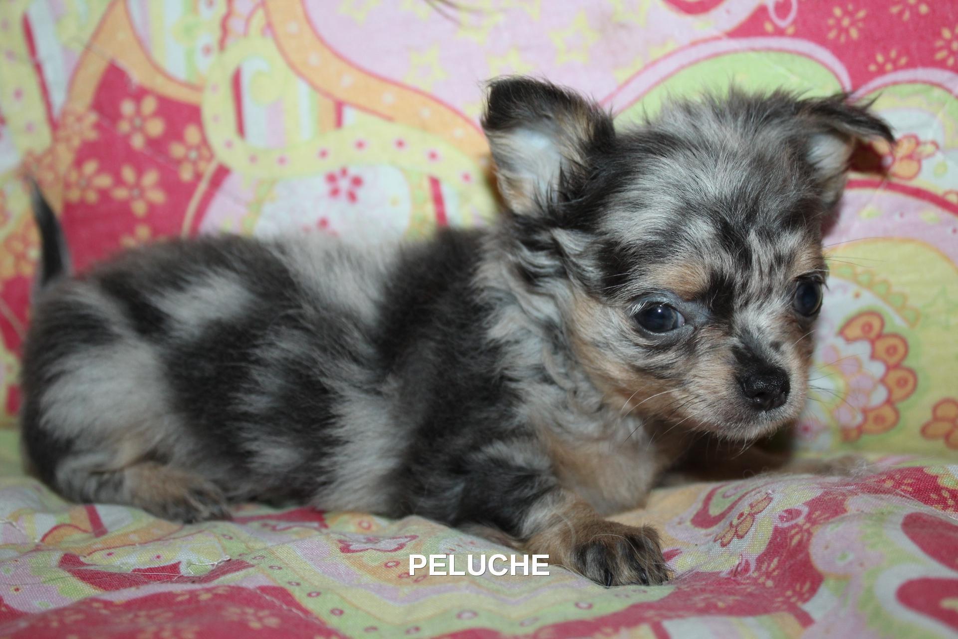 Chiot Chihuahua : 2  mâles - femelle 1 246743
