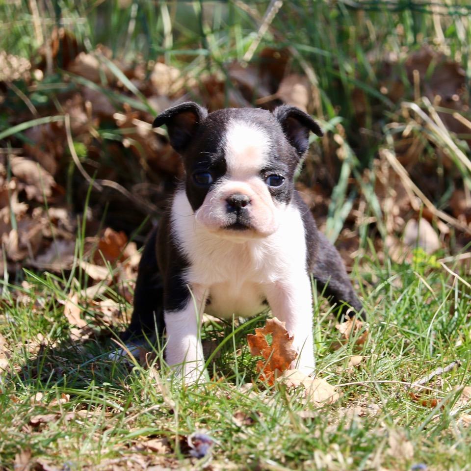 Chiot Terrier de Boston : 3  mâles – femelles 2 244413