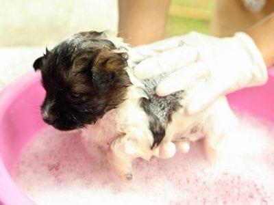 Peut-on laver son chiot avec son propre shampooing ?