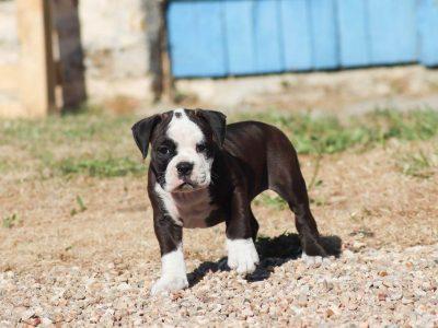 Chiot Continal Bulldog : 5  mâles – femelles 5 245776