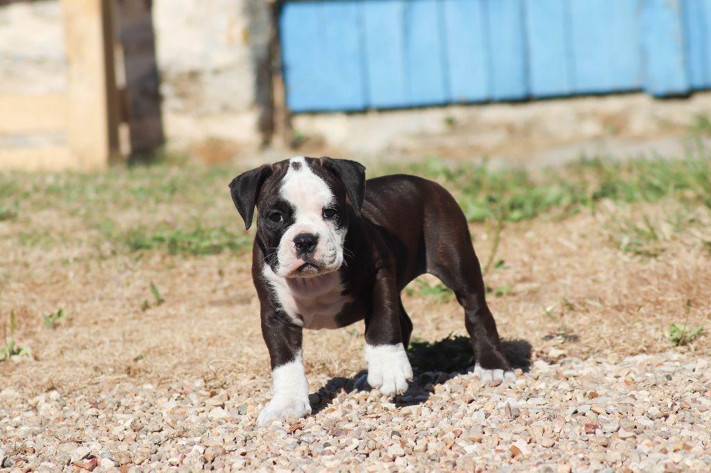 Chiot Continal Bulldog : 5  mâles - femelles 5 245776