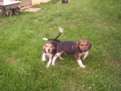 Chiot Beagle harrier : 3  mâles – femelle 1 237154
