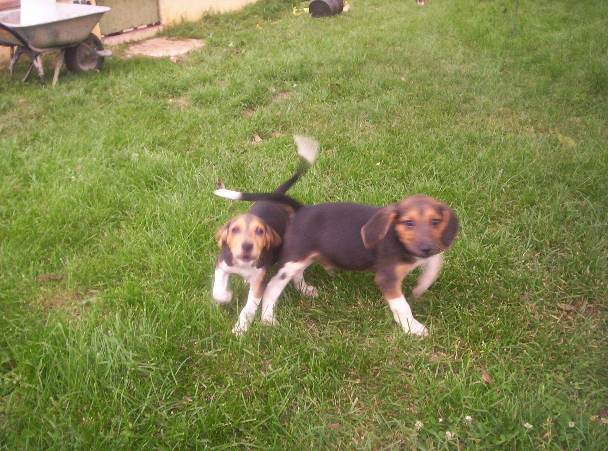 Chiot Beagle harrier : 3  mâles - femelle 1 237154